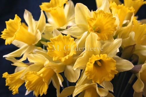 photograph of daffodils in bloom