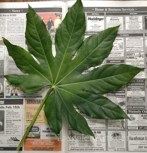 Large green leaf laying on newspaper.