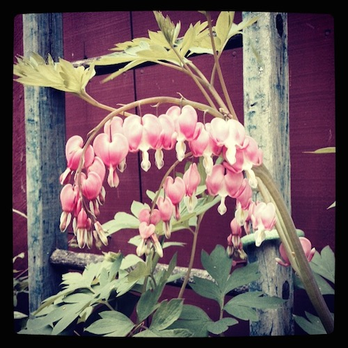 Bleeding hearts blooming next to a red barn.