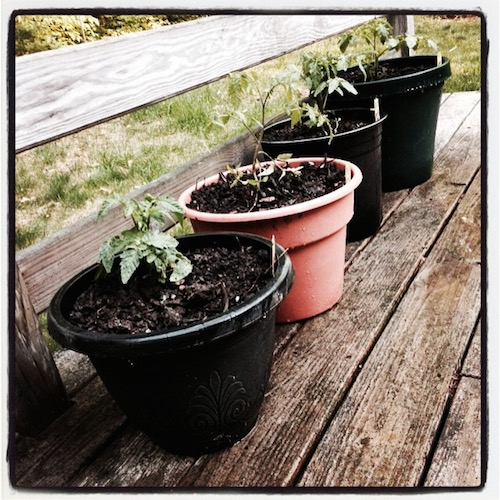 Four pots of dirt with tomato plants sitting on a wooden deck.