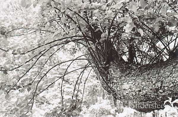 Black and white photograph of an apple tree trunk and leaves.