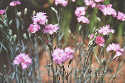 A photograph of a field of pink dianthus flowers.