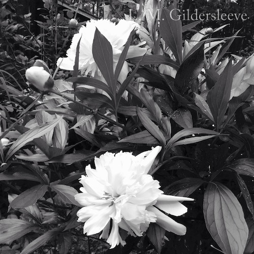 Black and white photograph of white peonies.