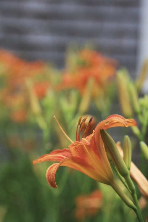 Photograph of orange day lilies.