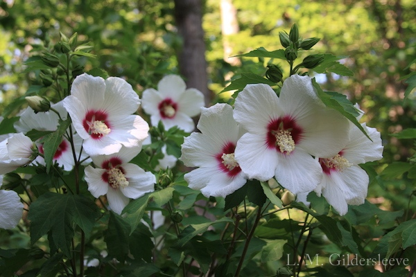 A photograph of white hibiscus flowers on a bush.