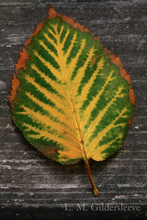 Colorful birch leaf of gold, green and rust brown.