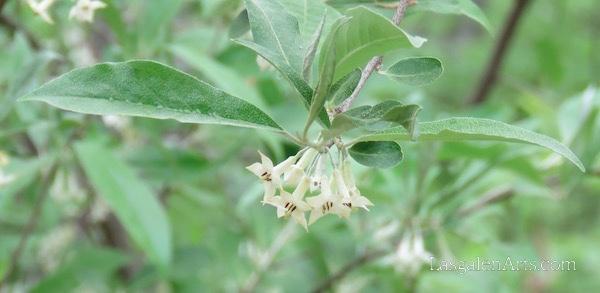 Mock olive blossoms