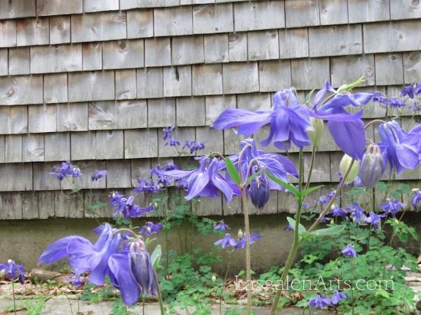 Purple Columbine And  Cedar Shingles