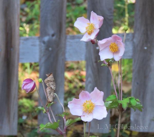 "Japanese Anemone variety ""September Charm"""